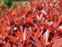 El rojo deja árboles y la naturaleza verde Fotos de archivo libres de regalías