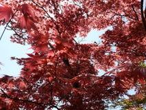 El rojo deja el árbol Imagenes de archivo