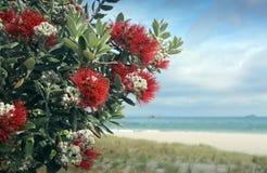 El rojo del árbol de Pohutukawa florece la playa arenosa Fotos de archivo