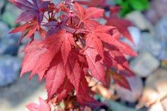 El rojo del arce de Acer Japonicum Japón deja la foto común fotografía de archivo