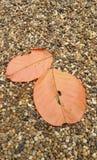 El rojo descendente se va en el camino pacífico del jardín en otoño Imagen de archivo libre de regalías
