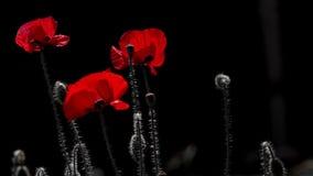 El rojo dominante Colores del contraste en amapola Rojo sangre en la marca metrajes