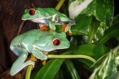 El rojo dos observó las ranas arbóreas que jugaban las plantas de los betweens en el terrario fotos de archivo
