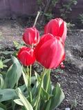 El rojo florece el tulipán fotografía de archivo