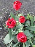 El rojo florece el tulipán foto de archivo