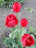 El rojo florece el tulipán fotografía de archivo libre de regalías