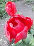 El rojo florece el tulipán imágenes de archivo libres de regalías