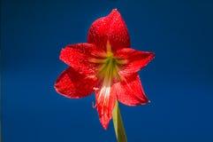 El rojo florece el fondo en Surat Thani Tailandia imagen de archivo