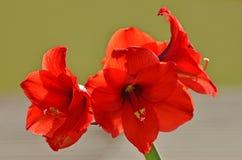 El rojo florece la amarilis Fotos de archivo libres de regalías