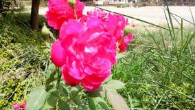 El rojo florece la foto asombrosa de la naturaleza Foto de archivo