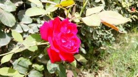 El rojo florece la foto asombrosa de la naturaleza Fotografía de archivo