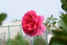 El rojo florece la pequeña gota de rocío de la hoja del verde del néctar de la abeja Fotos de archivo