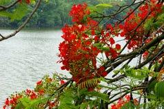 El rojo florece regia del Delonix Imagenes de archivo