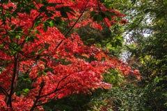 El rojo floreciente florece el árbol Fotos de archivo