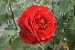 El rojo floreciente se levantó fotos de archivo