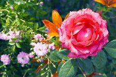 El rojo floreciente se levantó en un fondo de lirios anaranjados Foto de archivo
