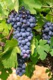 El rojo francés y la planta de las uvas del vino rosado, primera nueva cosecha de la uva de vino en ámbito o castillo francés del fotografía de archivo libre de regalías
