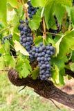 El rojo francés y la planta de las uvas del vino rosado, primera nueva cosecha de la uva de vino en ámbito o castillo francés del imagen de archivo