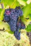 El rojo francés y la planta de las uvas del vino rosado, primera nueva cosecha de la uva de vino en ámbito o castillo francés del imagenes de archivo