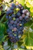 El rojo francés y la planta de las uvas del vino rosado, primera nueva cosecha de la uva de vino en Francia en ámbito o cierre de imagen de archivo