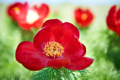El rojo hermoso florece peonías Fotos de archivo libres de regalías