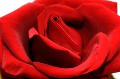 El rojo hermoso se levantó Fotografía de archivo