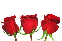 El rojo hermoso se levantó imágenes de archivo libres de regalías