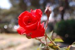 El rojo hermoso se levantó Foto de archivo