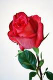El rojo hermoso se levantó Imagen de archivo libre de regalías