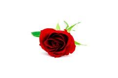 El rojo hermoso se levantó Imagenes de archivo