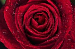 El rojo hermoso se levantó con gotas de lluvia Foto de archivo