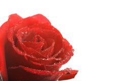 El rojo hermoso se levantó con las gotitas de agua aisladas foto de archivo libre de regalías