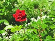 El rojo hermoso se levantó Fotos de archivo