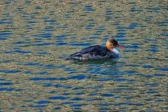 El rojo masculino breasted el pato del pollo de agua que flotaba en el río Chicago con las reflexiones del paisaje urbano que lo  Foto de archivo