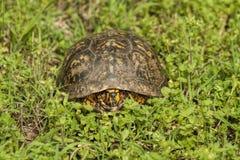 El rojo masculino observó la tortuga de caja - Terrapene Carolina Foto de archivo libre de regalías