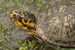 El rojo observó el primer masculino de la tortuga de caja - Terrapene Carolina Foto de archivo