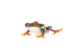 El rojo observó la rana arbórea en la noche en el fondo blanco Foto de archivo libre de regalías