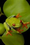 El rojo observó la rana arbórea que se sentaba en la hoja con el fondo negro Imagen de archivo