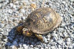 El rojo observó el Terrapene del este masculino Carolina Carolina de la tortuga de caja foto de archivo