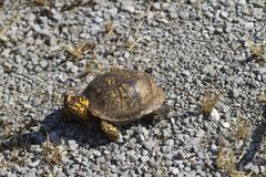 El rojo observó el Terrapene del este masculino Carolina Carolina de la tortuga de caja foto de archivo libre de regalías