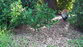 El rojo poca panda (fulgens del Ailurus) camina por motivo de un bosque almacen de video