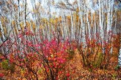 El rojo sale del bosque del abedul Imagen de archivo libre de regalías