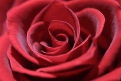 El rojo se levantó Imágenes de archivo libres de regalías