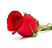 El rojo se levantó 2 Imagen de archivo libre de regalías