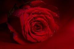 El rojo se levantó Fotografía de archivo