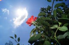 El rojo se levantó Fotografía de archivo libre de regalías