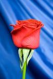 El rojo se levantó con el fondo 3 Fotografía de archivo libre de regalías