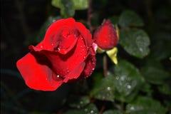 El rojo se levantó con gotas de rocío Foto de archivo