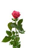El rojo se levantó en blanco Imagen de archivo