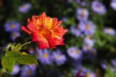 El rojo se levantó en el jardín Fotos de archivo libres de regalías